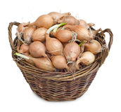 Tuber onion. In a wicker basket, isolated on white background Stock Image