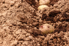 The tuber sprouted potatoes in the ground. Tuber sprouting of potatoes in plowed land Royalty Free Stock Images