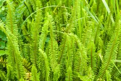 Tuber Sword Fern Royalty Free Stock Photography