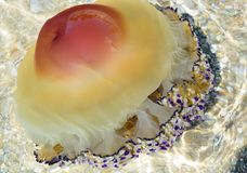 Tuberculata Cotylorhiza медуз стоковые изображения
