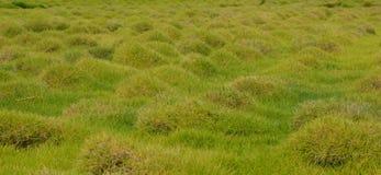 Tubercules d'herbe Images stock