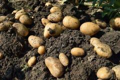 Tubercules de pomme de terre Photos libres de droits