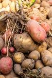Tubero della patata dopo la raccolta fotografie stock