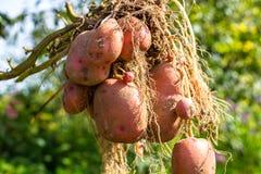Tubero della patata dopo la raccolta fotografia stock libera da diritti