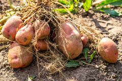 Tubero della patata dopo la raccolta immagini stock libere da diritti