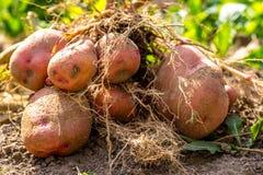 Tubero della patata dopo la raccolta fotografie stock libere da diritti
