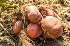 Tubero della patata dopo la raccolta immagine stock libera da diritti