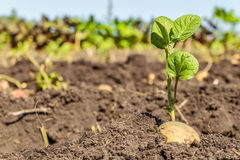 Tubero germogliato della patata Tiri di verde del seme della patata sui precedenti della piantagione fotografia stock libera da diritti