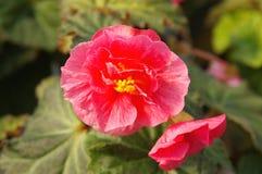 Tuberos Begonia. Closeup Stock Photos