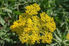 Tuberosa amarillo del Asclepias de Butterflyweed Fotos de archivo libres de regalías