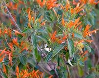 Tuberosa d'Asclepias de mauvaise herbe de papillon fleurissant au premier ressort de l'Arizona photo stock