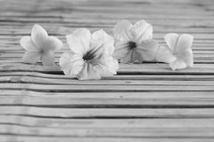 Tuberosa Ruellia και λουλούδι plumeria Στοκ φωτογραφία με δικαίωμα ελεύθερης χρήσης