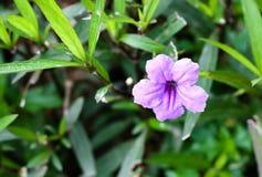Tuberosa Ruellia или Ruellia в научном имени Стоковое Фото