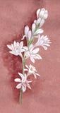 tuberose Immagine piante medicinali, della profumeria e del cosmetico Immagine Stock Libera da Diritti