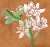 tuberose Immagine piante medicinali, della profumeria e del cosmetico Fotografia Stock