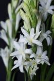 Tuberose kwiat odizolowywający na czarnym tle Fotografia Stock