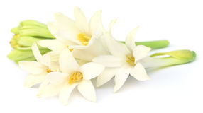 Tuberose or Rajnigandha of Southeast Asia Royalty Free Stock Photography
