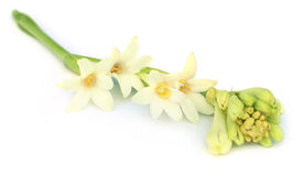 Tuberose or Rajnigandha of Southeast Asia Stock Photos
