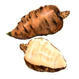 Tuberous rooted chervil, Anthriscus cerefolium, garden chervil, French parsley isolated, watercolor illustration Stock Images
