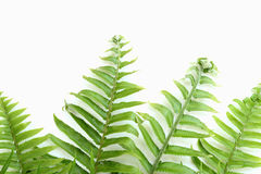 Tuberous Sword Fern Royalty Free Stock Image