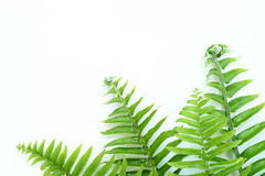 Tuberous Sword Fern Stock Images