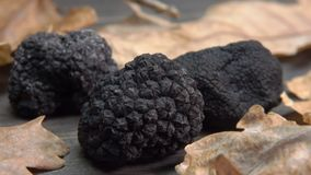 Tubers of black truffles placed among oak leaves. On the wooden board stock footage