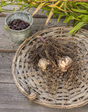 Tubers and bulbs lilies Stock Image
