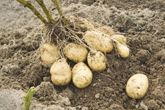 Tubers from one Bush in the potato Stock Image