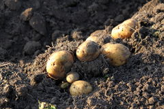 Tubers of potato Stock Photo