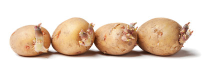Tubers of a potato with sprouts Royalty Free Stock Image