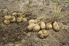 Tubers with two bushes in the potato Stock Photos