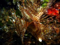 Tubeworm Foto de Stock Royalty Free
