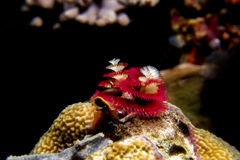 Tubeworm. Red tubeworm under the sea in Raja Ampat Stock Images