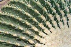 Tubiflora de Echinopsis Imágenes de archivo libres de regalías