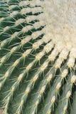 Tubiflora de Echinopsis Foto de archivo libre de regalías