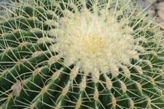 Tubiflora de Echinopsis Fotografía de archivo
