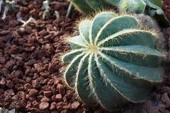 Tubiflora de Echinopsis Fotografía de archivo libre de regalías