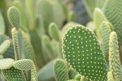 Tubiflora de Echinopsis Fotos de archivo libres de regalías