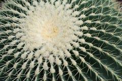 Tubiflora de Echinopsis Imagen de archivo