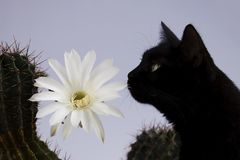 Tubiflora de floraison blanc d'echinopsis de cactus d'usine d'intérieur vieux sur un fond clair et un chat noir photographie stock libre de droits