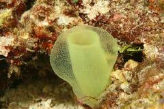 tubki zielony tunicate zdjęcie royalty free