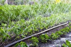 Tubo del polietilene di irrigazione per i letti di innaffiatura Irrigazione del raccolto Immagini Stock