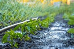 Tubo del polietilene di irrigazione per i letti di innaffiatura Irrigazione del raccolto Immagini Stock Libere da Diritti