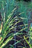 Tubo dell'irrigazione a goccia accanto al raccolto Fotografia Stock