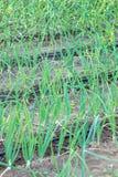 Tubo e cipolle dell'irrigazione a goccia Fotografie Stock