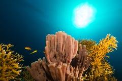 Tubo-esponja colonial (siphonella do siphonochalina) no Mar Vermelho. Foto de Stock