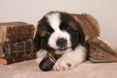Tubo que fuma de Bernard del perrito joven del perro Foto de archivo libre de regalías