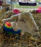 Tubo vestindo do cordeiro do Spandex dos carneiros em uma feira do estado foto de stock royalty free