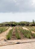 Tubos de la irrigación en campo del áloe Fotografía de archivo libre de regalías