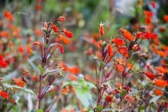 Tubowego kwiatu CU Zdjęcia Royalty Free